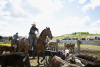 Cattle rancher on horseback roping cows