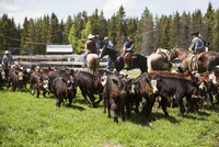 Cattle ranchers on horseback rounding up cows on sunny ranch