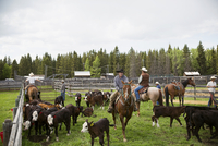 Cattle ranchers on horseback among cows