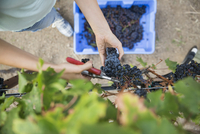 Overhead view female worker harvesting red grapes from vines in vineyard 11096045880| 写真素材・ストックフォト・画像・イラスト素材|アマナイメージズ