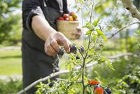 Farm-to-table chef harvesting ripe tomatoes in sunny vegetable garden 11096046029| 写真素材・ストックフォト・画像・イラスト素材|アマナイメージズ