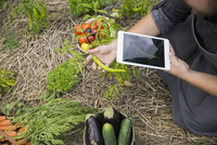 Farm-to-table chef with digital tablet harvesting vegetables in garden 11096046033| 写真素材・ストックフォト・画像・イラスト素材|アマナイメージズ