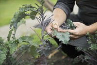 Farm-to-table chef harvesting kale with scissors in vegetable garden