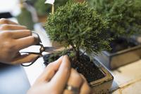 Close up hands trimming small bonsai tree with scissors 11096047565| 写真素材・ストックフォト・画像・イラスト素材|アマナイメージズ