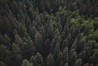 Overhead view tall green forest treetops