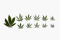 Knolling of marijuana leaves 11096053797| 写真素材・ストックフォト・画像・イラスト素材|アマナイメージズ