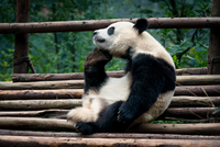 The Great Panda Thinker