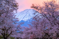 Fuji - Sakura - Sunset