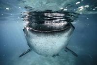 Underwater portrait of whale shark (Rhincodontypus), Oslob, Cebu, Philippines