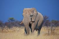 Elephant in Savannah, Namibia