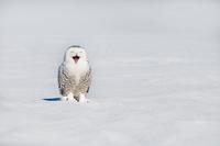 Snowy owl (Bubo scandiacus) yawning on snowy field in winter, Quebec, Canada