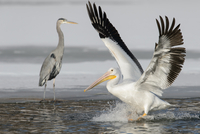 Pelican and Heron along in Minnesota River, USA