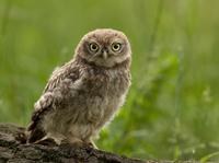 Juvenile Little Owl