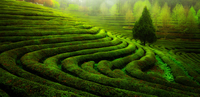 Green tea plantation, Nokcha-Ro, Boseong County, South Jeolla Province, South Korea
