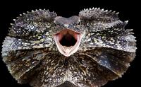 Adult Frilled Dragon (Chlamydosaurus kingii) displaying, Jakarta, Indonesia