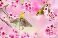 Japanese White-eye 11098003394| 写真素材・ストックフォト・画像・イラスト素材|アマナイメージズ