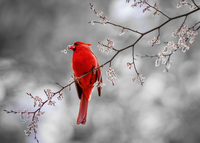 Red bird perching on branch, Tomball, Texas, USA