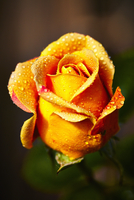 Close up of Wet Yellow Rose