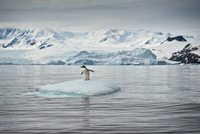 Gentoo Penguin on iceberg in Cierva Cove