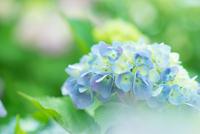 Hydrangea as blooming in the rain like
