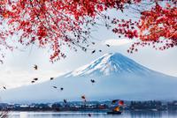 Red Maple Fuji