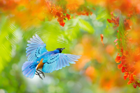 Flying of superb starling