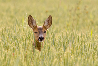 The winking deer