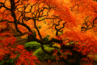 Fall Color and Japanese Maple in the Porland Japanese Garden Par
