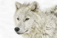 Arctic wolf profile...