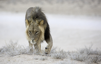 Kalahari Lion on patrol
