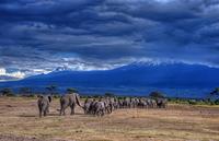 Elephants Head back to the Foothills of Mt. Kilimanjaro