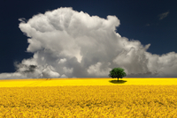 Rapeseed Field Storm