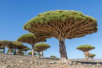 Dragonblood Trees
