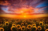 Sun Flowers Light 11098011193| 写真素材・ストックフォト・画像・イラスト素材|アマナイメージズ