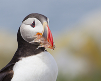 Atlantic Puffin with Dinner