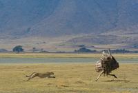 Cheetah (Acinonyx jubatus) chasing common ostrich (Struthio camelus), Ngorongoro Crater, Tanzania