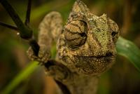 Close-up of chameleon's head, Temara, Rabat, Morocco
