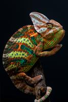 Yemen chameleon climbing branch