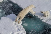 Elevated view of polar bears on ice floes
