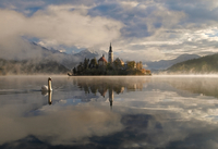 Swan floating on Bled Lake with church in background, Slovenia