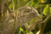 Portrait of chameleon holding onto plant stems