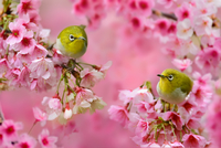 Two Zosterops perching on blossoming cherry tree