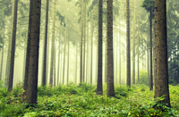 Forest in foggy weather