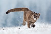 Portrait of cougar running on field in winter