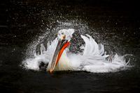 Pelican splashing water