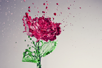 Liquid splash in shape of rose