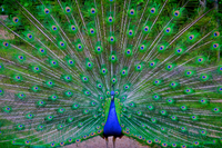 Peacock showing tail feathers