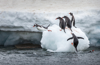 Penguins jumping into sea from ice floe