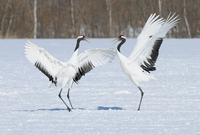 Beautiful white birds standing in snow with wings outstretched