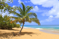 Palm tree on tropical beach, Rifflet, Guadeloupe, France